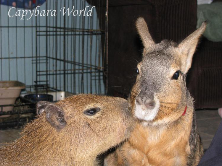 Little Addy and Todd, who is a Patagonian cavy