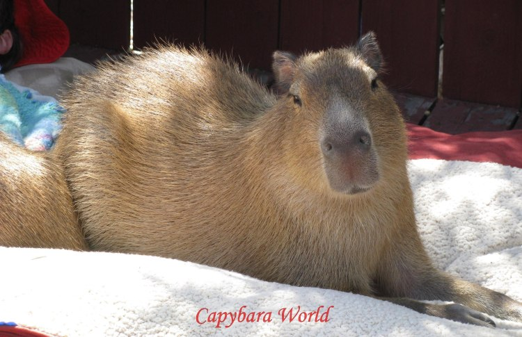 The Perfect Capybara