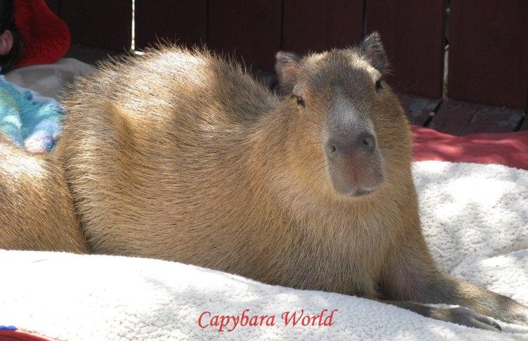 The Perfect Capybara