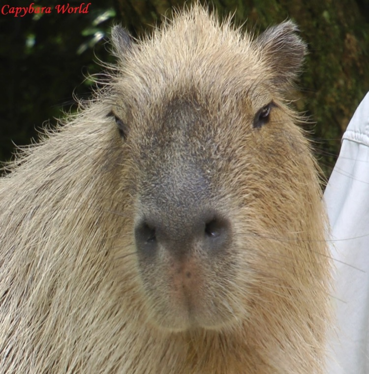 Ayu was the Very First Capybara We Met when we first visited Nagasaki Bio Park. She came over to Greet Us (I think she was hungry), and she soon discovered that I loved pampering capybaras. She and I became firm friends.