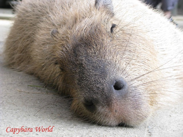 Sweet Ayu, Macaroni's mother. She along with Donguri were gentle capybaras who didn't like to fight
