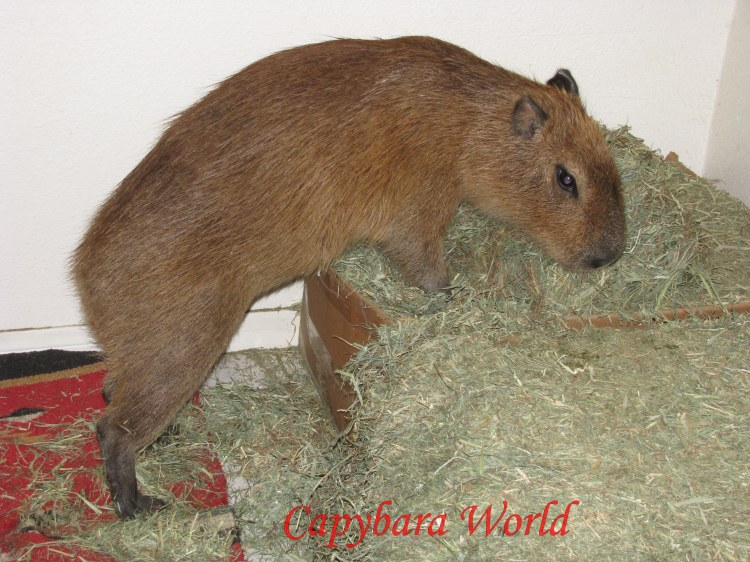 Eating Hay in the Dining Room. When ever Romeo or Tuff'n want to chew on something they have a choice of Hay or Guinea Pig Food; both require a lot of chewing