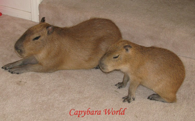 These beautifully behaved capybaras would never dream of chewing on a cable or power cord. Don't they look so innocent...