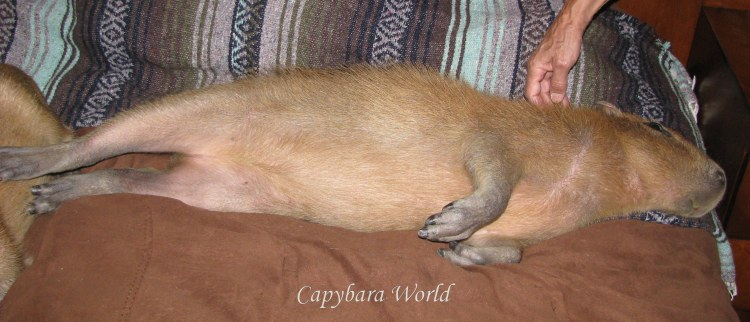 Blissful Capybara, All Stretched Out