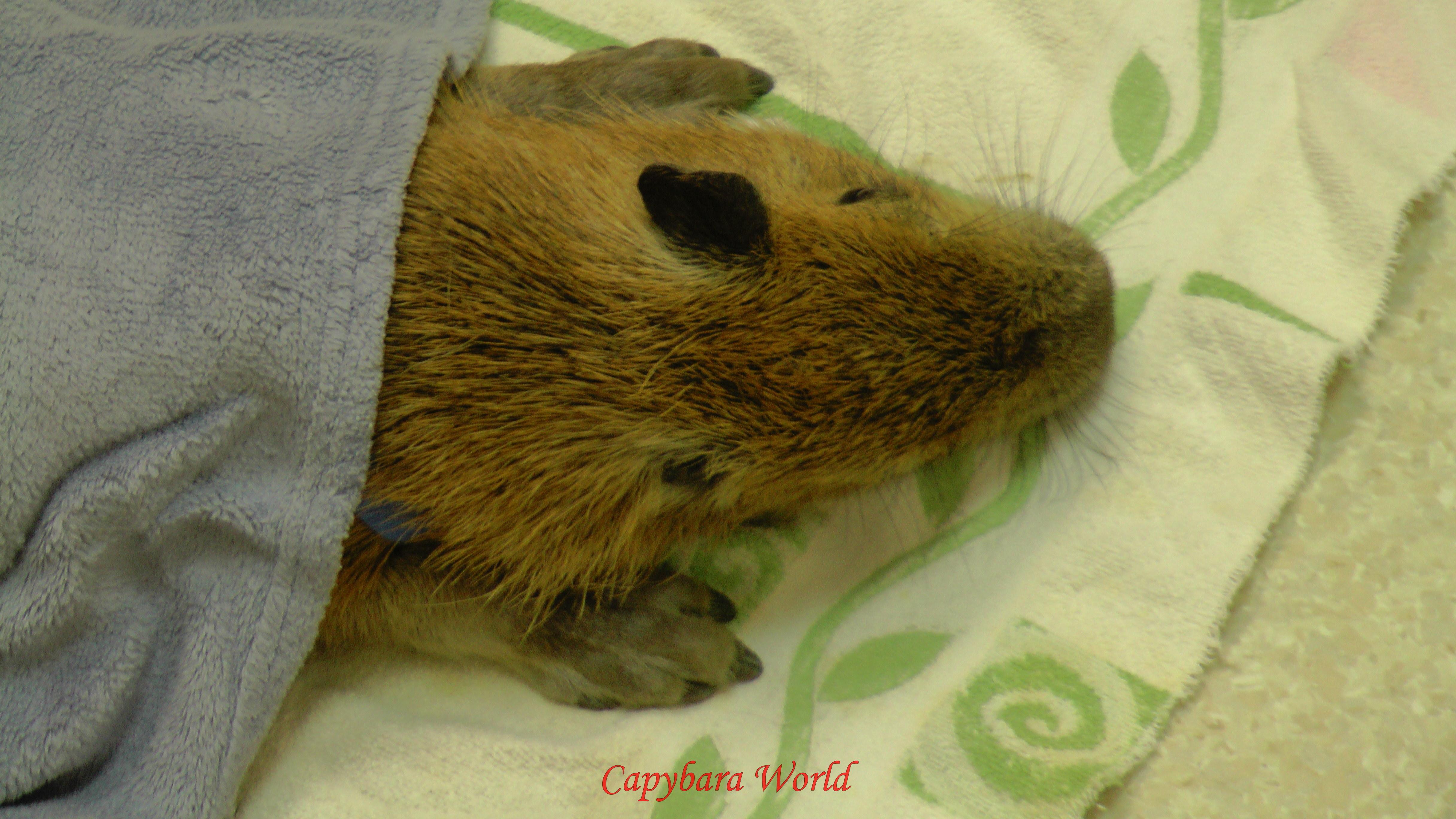 Newborn Capybaras
