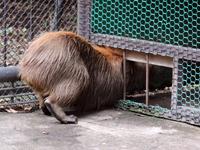 2012.10.31-capybara3 Koharu the Destroyer