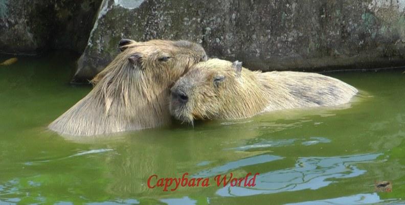 Donguri and Yasushi. Donguri was Yasushi's Favourite Female Capybara.  .   どんぐりと靖。どんぐりは靖のお気に入り女性カピバラだった。