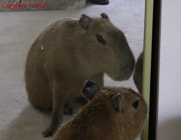 "Romeo thinks to himself ""That's a Good Looking.  ロメオは""格好良いカピバラですね""自分自身に考えている。 Capybara""."