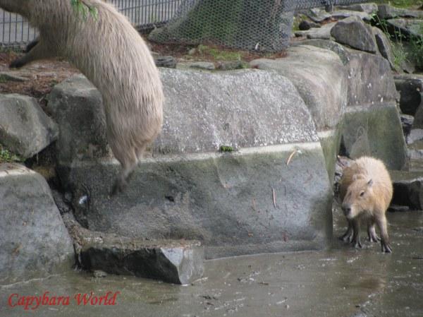 もみじは池のうち2フィートをジャンプします。小さなドーナツも2フィートをジャンプします。しかし、チョコとマカロニ。それは高すぎる。行うことはできません。   Momiji Leaps 2 Feet Out Of the Empty Pond. Amazingly, Doughnut Manages This Feat Twice, Despite His Tiny Size.
