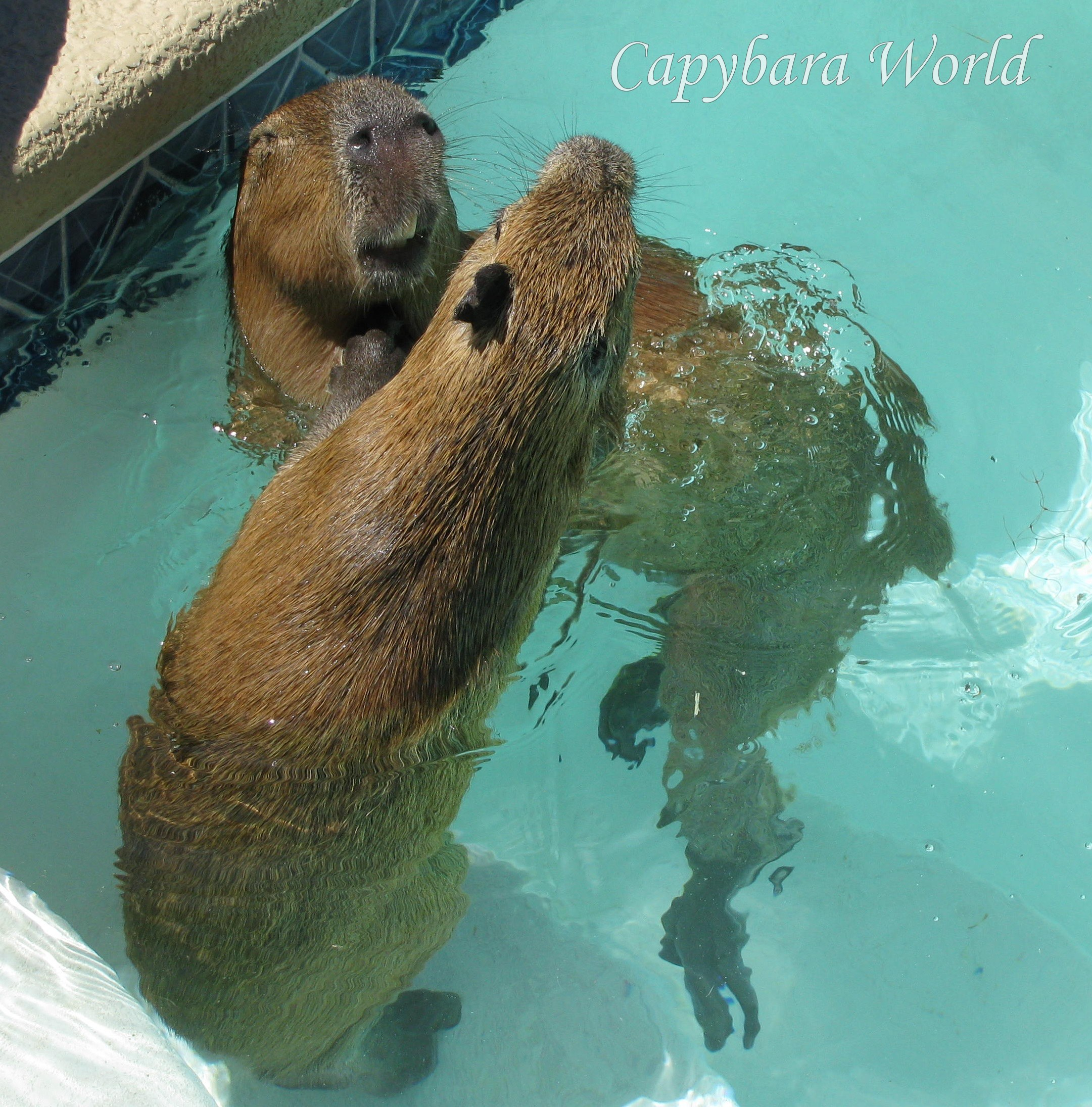 capybara wallpaper pool - photo #4