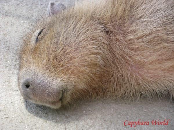 Sweet, Gentle, Trusting Capybara