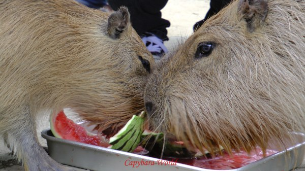 Yasushi was always ready to share his watermelon with his little son Io.  Donguri is Io's mother. When Yasushi took his afternoon nap Io would come over and join him, often clambering over his nose and waking him up. Yasushi never protested, he was a very tolerant capybara. There seemed to be a special bond father and son, and Io often sought out Yasushi's company; he was always welcomed.