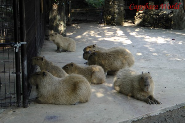 どんぐりは私を見て. Donguri looks at me. The other capybaras are looking at Yuzu and Ninjin in their separate enclosure. Probably they have been given something to eat and the hungry capybaras in the main enclosure wonder why they are not getting something to eat as well. By the way they are sitting you would think they are expecting Yuzu or Ninjin to offer them a titbit!