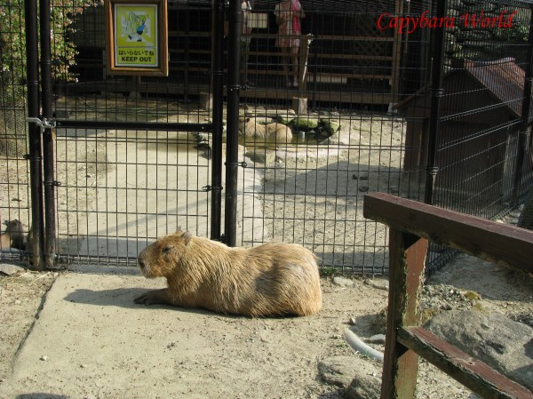 Donguri Guarding Momiji's Enclosure. She visited Momiji regularly during the day. Momiji missed the herd and frequently called to them. A film crew spent several days filming the capybaras. On at least 2 occasions they went into Momiji's enclosure and frightened her. After the first intrusion Donguri tried to guard the entrance gate to prevent the film crew entering Momiji's enclosure, but she was rudely pushed away.    Translate from: Lithuanian どんぐりはもみじを訪問