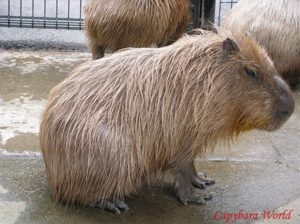 Yasushi often looked vulnerable, as if something frightening had happened to him in the past. I rarely saw him with the relaxed and happy look that most capybaras express when they are resting stop However Yasushi adored to be pampered and petted, and he was at his happiest rolling on his side, with his head thrown back, his lips slightly parted and his teeth showing in an expression of sheer bliss. His response and his ecstasy were so manifest that nothing gave me greater pleasure than to make him happy.