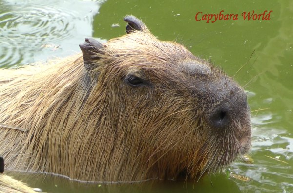 Yasushi was such a Thoughtful and Concerned Capybara. He seemed to carry the weight of the world on his shoulders, responsible for the happiness of his herd. I felt that he felt he could never really relax except when he was being pampered. He always had to be sufficiently alert in case some danger or accident befell one of the other capybaras and he would need to take charge. If any of the capybaras escaped from the enclosure he became extremely worried. An anxious look spread over his face and he would walk along the boundary fence staying as close to the escapees as possible, ready to give them his support if they became frightened. He was a true gentleman.