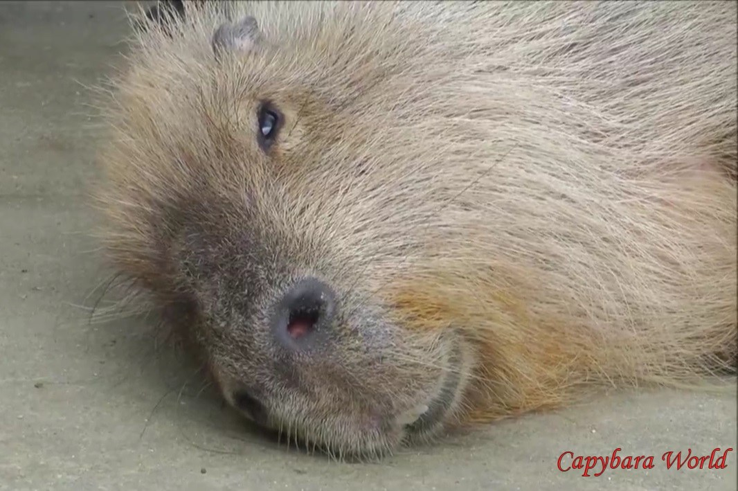 Animal Protection Capybaraworld