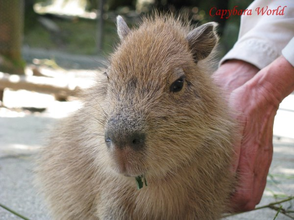 Little Macaroni being petted by me. Baby capybaras are incredibly cute when they first discover that humans can make them happy by rubbing them in the right places, and not just by feeding them. The look of concentration on their little faces... As they try to get the most out of the pleasurable experience.  私は少しマカロニペット。赤ちゃんカピバラは非常にかわいいです。彼らは人間が適切な場所でそれらをこすって「それらを幸せにすることができることを発見する。 だけではなく、それらを供給することによって。彼らの小さい顔に集中の外観...彼らは楽しい経験を最大限に活用しようとする。