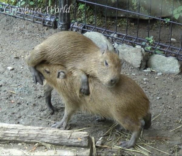 Capybara Sumo Wrestlers.  相撲 レスリングカピバラ