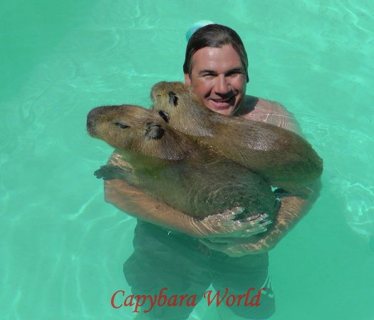 Romeo, Tuff'n and Marvin in the pool. The pool has been specially treated so the water is not harmful to the capybaras.