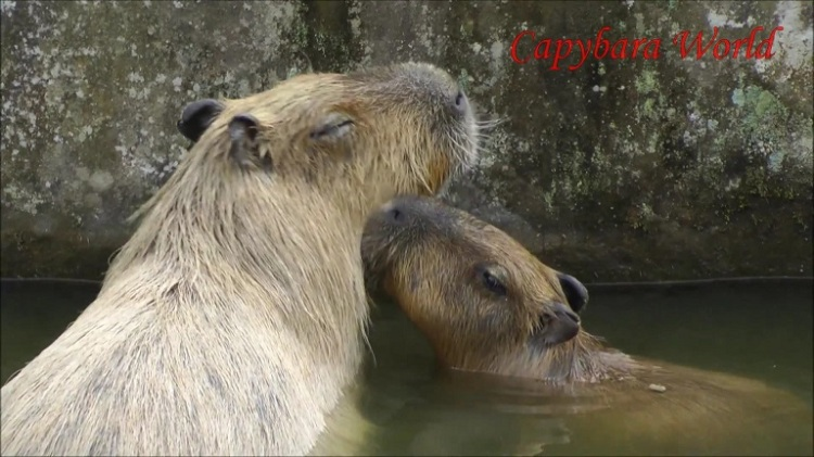 Capybaras Are Very Affectionate. Mother is Nuzzled By 5 Month Old Son. カピバラ非常に愛情。赤ちゃんニブル母