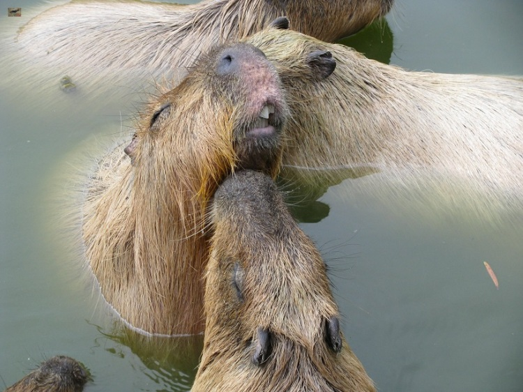 Male Capybara Surrounded by Adoring Female Capybaras Nibbling Him and Vying for His Attention.  オスカピバラは、女性のカピバラを絶賛に囲まれています。