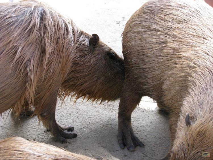 Male capybara sniffs female capybaras anal glands. The male capybara in this photo was much more interested in the female than the tasty watermelon which was on offer.   オスカピバラ、女性のカピバラ肛門香り腺におい。