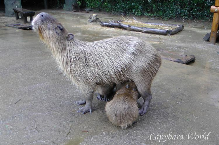 Alloparenting.   Mother capybara is nursing two of her own pups. The third pup was born to a capybara who is related to her. Her mother is the grandmother of the mother of the other baby capybara. The pups share the same father.   群れの女性カピバラは関連しています。の赤ちゃんはどんな母親を授乳することができます。ただ、母を所有してい。