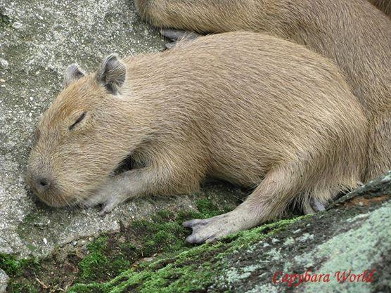 6 Week Old Baby Capybara Sleeping.   6週齢の赤ちゃんカピバラは眠る