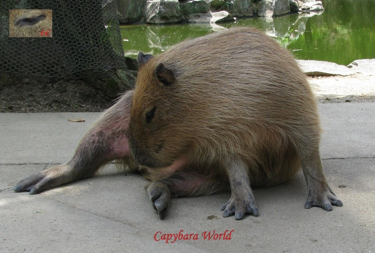 14 month old female Capybara Eating Her Cecotropes. cecotropesを食べる