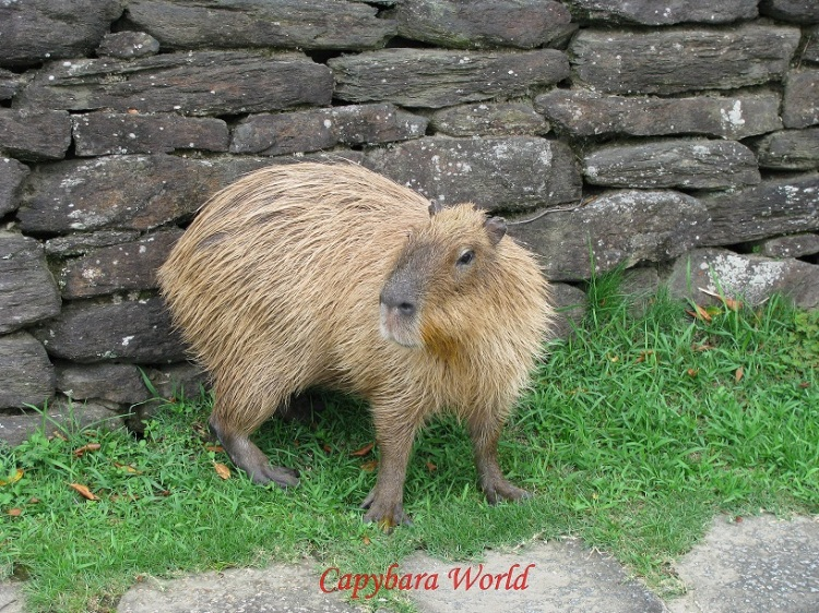 Adult Female Capybara, 6 years old.  成人女性カピバラ。 6歳
