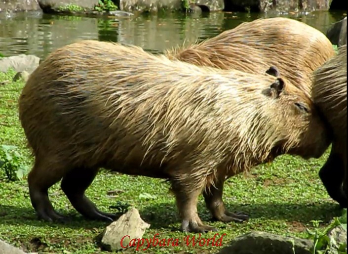 The number one in the female hierarchy rubs her morillo against the anal pocket/genital area, and sniffs it, of a female capybara who has been in a separate enclosure for about 10 weeks while she gave birth. This is her first day back with the herd.  女性のカピバラ(メス階層内ナンバーワン)は、バックカピバラをお待ちしております。 morilloをこすり、ボトムをにおいがする。彼女は出産10週間別々の筐体になっています。バック群れで初日