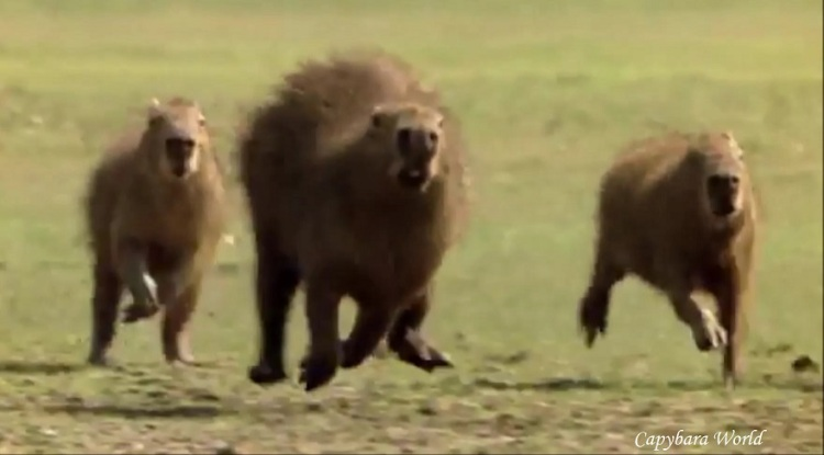 Capybaras running in the wild