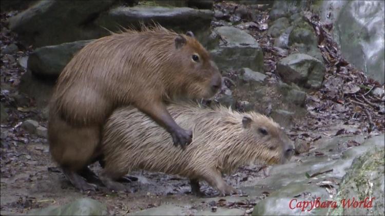 Capybara Mating.  カピバラの交尾