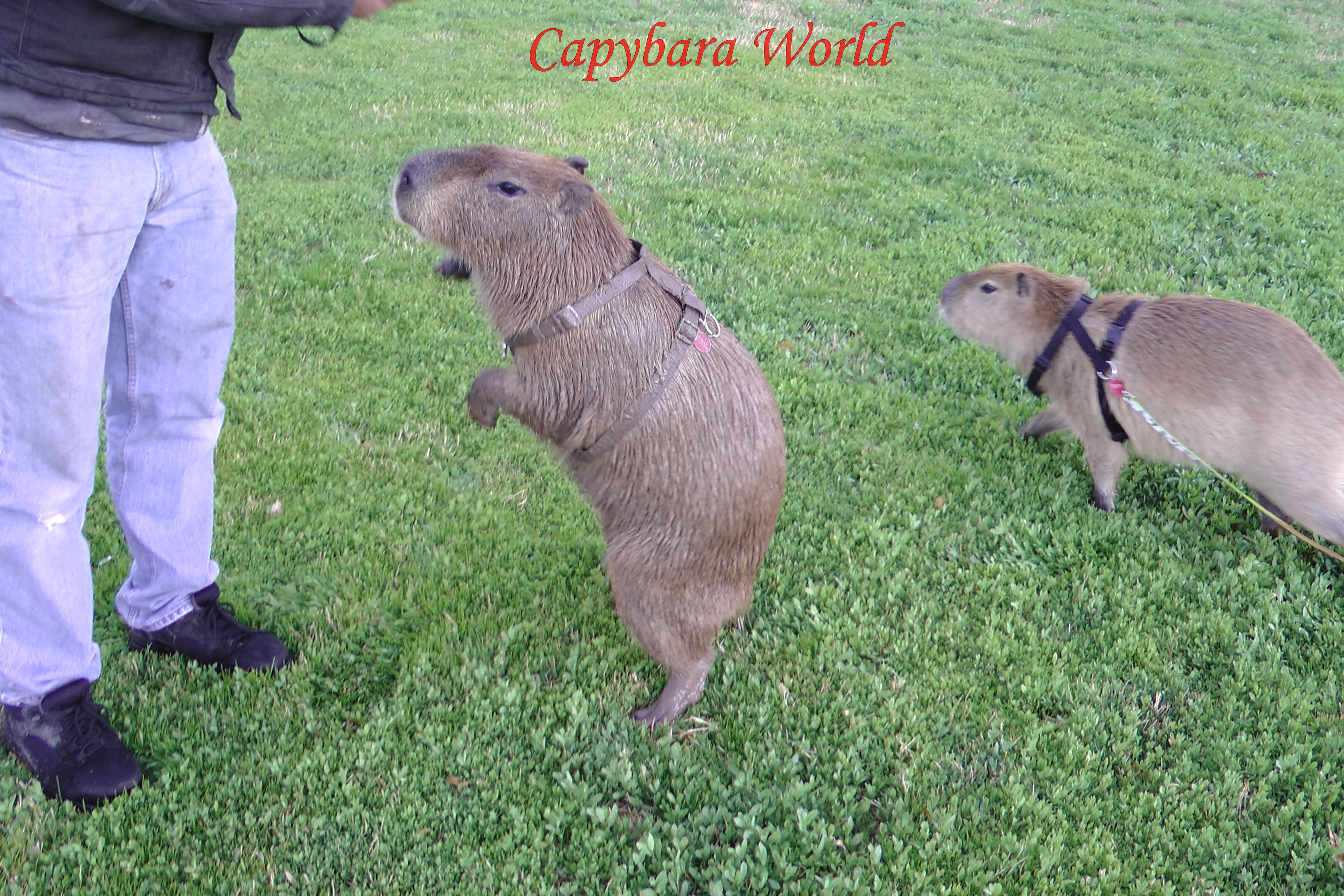 A day in the life of a pet capybara muddy romeo at the park romeo loves to roll in the mud he also publicscrutiny Image collections