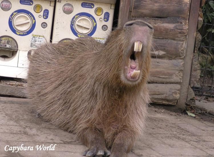 WN 40% Crop Butter Capybara Mouth 09 Aug 2019 183