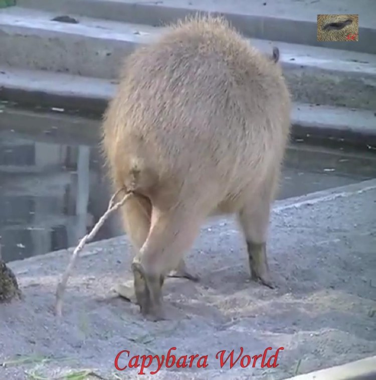 Scent marking behaviour in capybaras is more common in males than females, but during courtship males and females mark with equal frequency and use both glands. A typical marking sequence for males involves rubbing the morrillo against a shrub or twig then straddling the plant, pressing the anal pocket onto it and sometimes simultaneously urinating on the plant.
