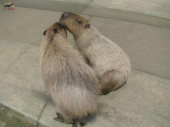 Courtship Behaviour. Male capybara (with back to camera) nuzzles female capybara under the chin.   求愛行動。(カメラに背を)男性カピバラはあごの下、女性カピバラニブル。