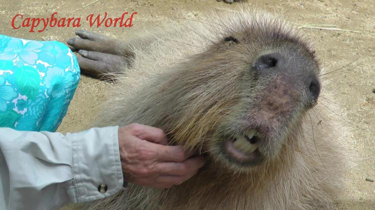 Capybaras That Are Used to Humans Love to Be Petted.  カピバラ撫でするのが大好き。それらは人間に使用されている場合