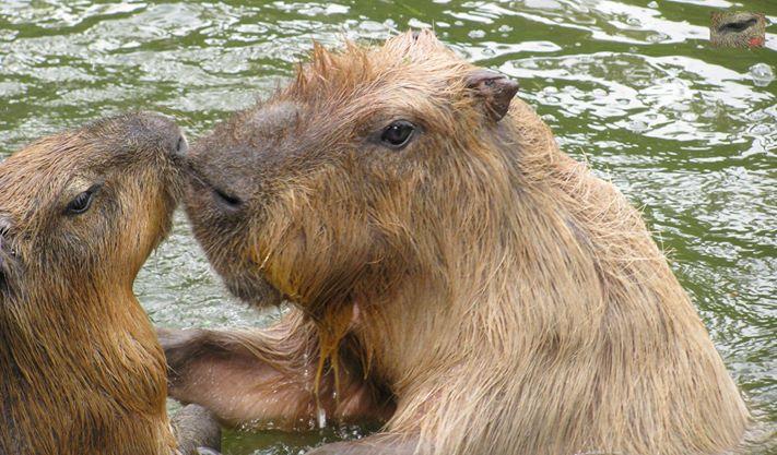Male Capybara Morillo.  オスのカピバラのmorillo