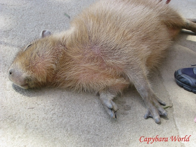 Capybaras are exceptionally social, gregarious herd animals. They become extremely distressed if left on their own. In the wild if a member of their herd became separated it would mean almost certain death.