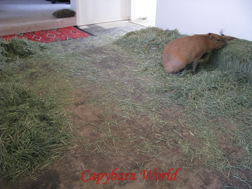All the carpets have now been ripped out. It is quite natural for capybaras to mark their territory. It would be cruel to prevent them carrying out this completely natural activity. So for reasons of hygiene you will need to have a floor that is easily washed. However, it must not be slick and slippery, like a tiled floor, as capybaras would not be able to move around comfortably on this type of flooring. The main living room has had all the furniture removed. Now there are just 2 bales of hay for the capybaras to eat.