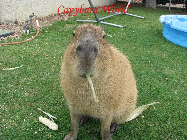 Pet Capybara FAQs. The Questions People Always Ask ...