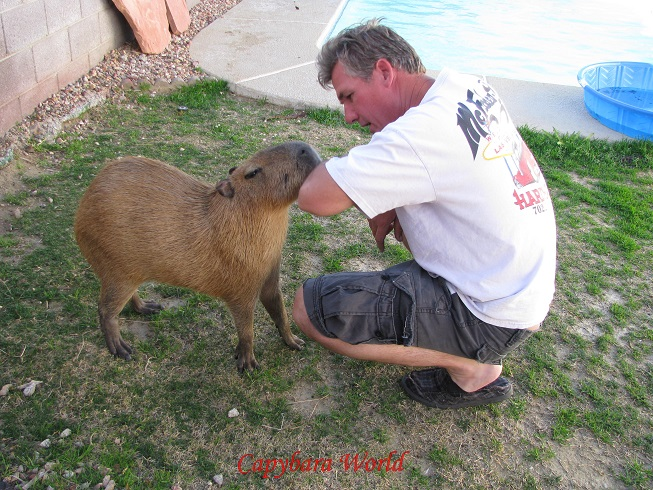 Romeo nibbles Marvin affectionately. Very few, if any, capybaras could be trusted in this way. Romeo is quite exceptional. Romeo knows that Marvin is number one in the hierarchy and occasionally Romeo challenges him and becomes aggressive. Marvin is powerful enough, and has many decades experience with animals so he has never been seriously injured. This might not be the case with most humans.