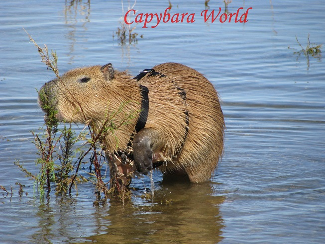 Tuff'n and Romeo make regular visits to Lake Mead to swim. They do have their own specially treated swimming pool at home, but in the wild they would enjoy a life with wide open vistas. Capybaras like most wild animals do not like to be confined. They hate fences and barriers.