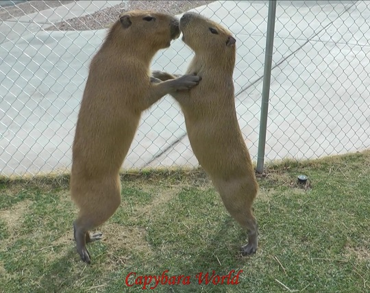 Capybara society is very hierarchical. Male capybaras will challenge each other to become the dominant male. With their very sharp teeth this will result in cuts. If you're male capybara decides to challenge you for the dominant position you will get bitten. Capybara skin is much tougher than human skin so it will be very painful