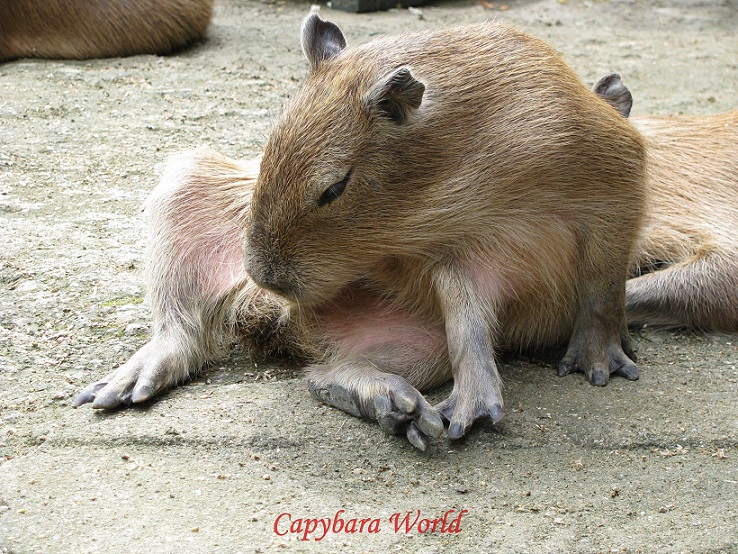 Capybaras practice cecotrophy. This can get a little messy and you may find small amounts of cecotropes on your bed, sofa etc. The capybara diet is highly fibrous and nutritionally low in value.  Cecotrophy allows the capybara to digest more nutrients from an otherwise low nutrient diet and maximise the absorption of protein. The 'cecotrophy' excreta is different in composition to the usual oval shaped faeces, and contains up to 37% more protein and 30% less fibrous material, depending on the diet. Capybaras most often practice cecotrophy in the early morning hours when protein content is highest.