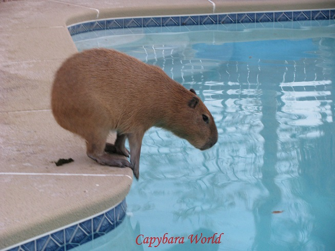 Romeo is about to jump into the pool. You can see the little turds (faeces) he has left behind beside the pool to mark his watering hole.