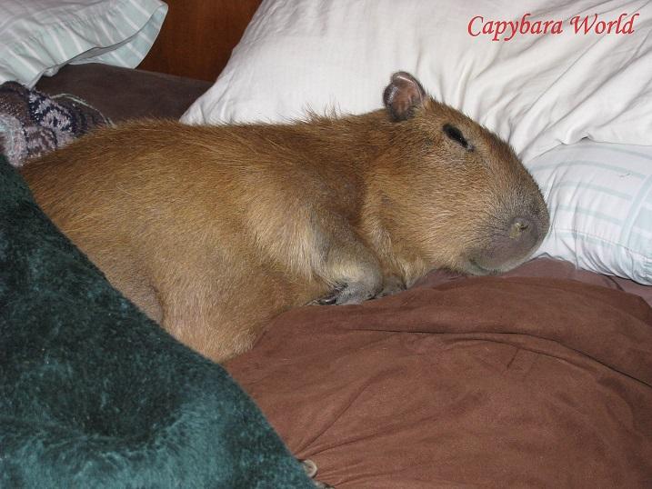 Romeo. A Very Special Capybara