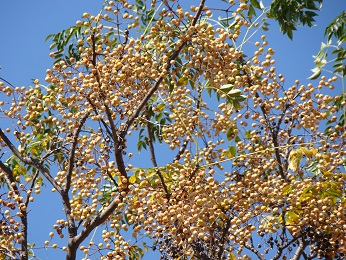 .Chinaberry Tree. Please see my text for other names of this toxic tree